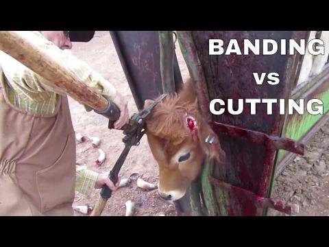 Banding Vs Cutting Horns