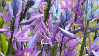 Common Camas (close up), William L. Finley National Wildlife Refuge, Oregon