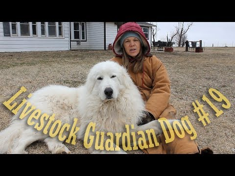 Livestock Guardian Dog Update
