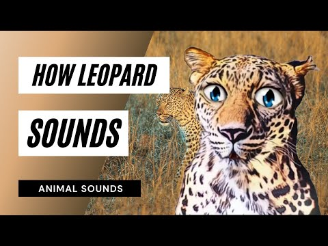 When A Leopard Growl - Sound Effect  -Animation