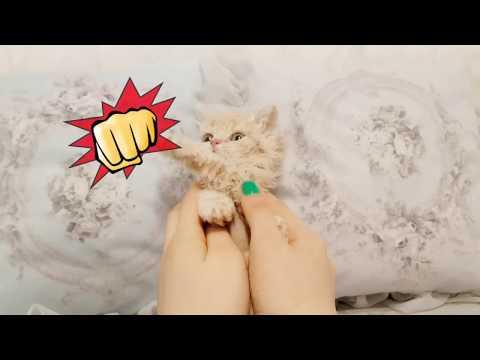 curly hair kitten lovely Selkirk Rex videos - KimsKennelUS