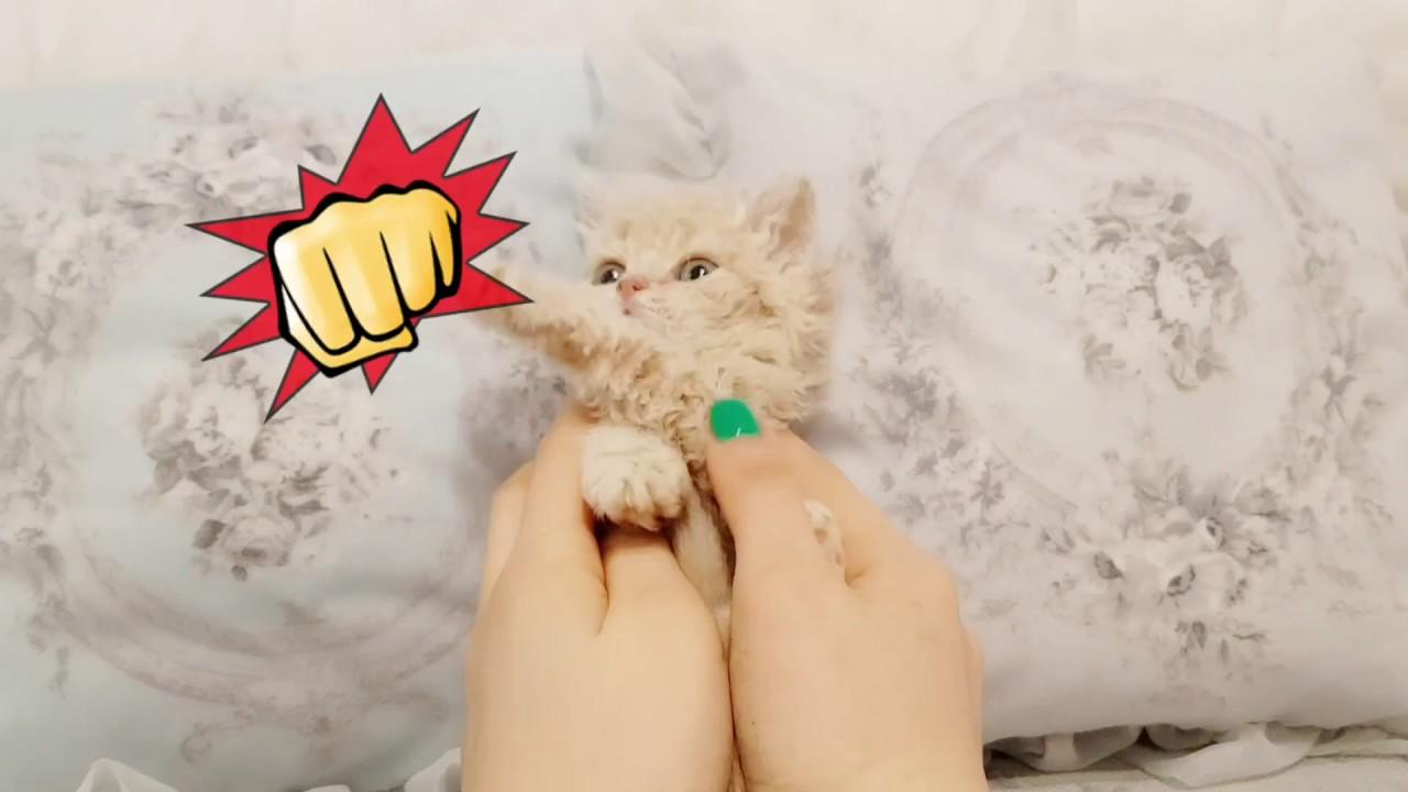 Curly Hair Kitten Lovely Selkirk Rex Videos Kimskennelus Youtube