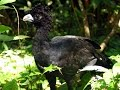 Blue-billed Curassow Reserve: Last Place for Rare Bird