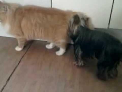 Собака лижет у кота