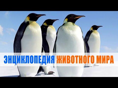 Вопрос: К какой категории животных относятся пингвины и что на это указывает?