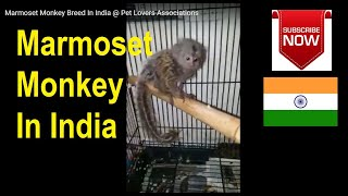 Marmoset Monkey Breed In India @ Pet Lovers Associations