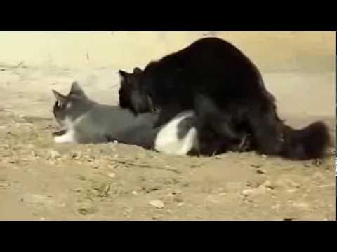 cats-make-love-cats-mating-breeding