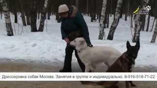 Дрессировка собак, команда рядом, усложнение работы на начальном этапе обучения