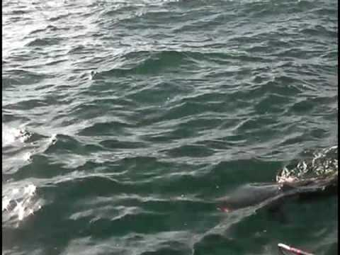 August cobia fishing out of oregon inlet north carolina for North carolina out of state fishing license