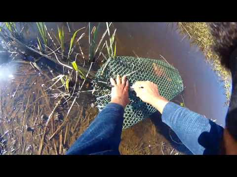 Test Trapping Crawfish Ditches