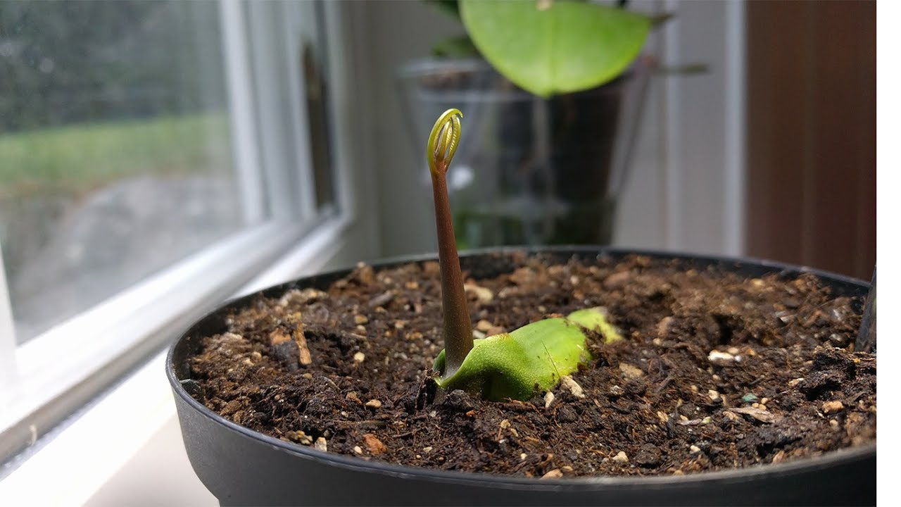 Mango tree time lapse 23 days