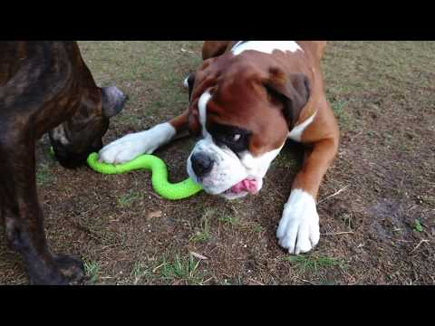 boxer-dogs-are-just-like-kids!-problems-sharing-toys!