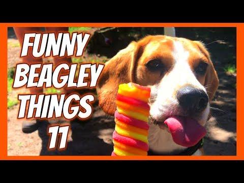 Funny BEAGLE Compilation! Why You Should Get A Beagle Dog. Episode #11