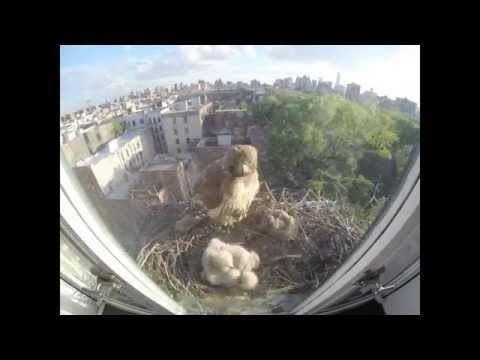 Red-tailed Hawks Nest Timelapse