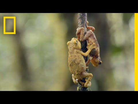 Tiny Toad to Tell Secrets? | National Geographic