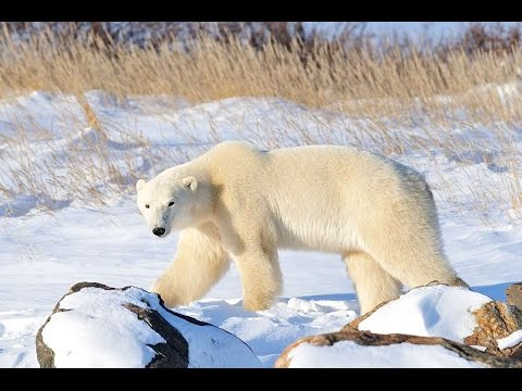 Manitoba Polar Bears at Seal River