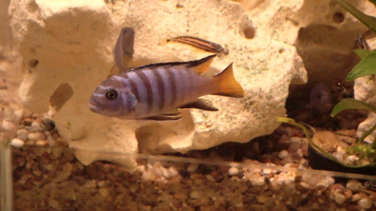 Pseudotropheus elongatus mpanga for Zierfisch versand