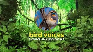 Голоса птиц: белая трясогузка