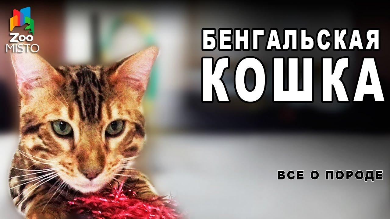 Бенгальская Кошка -  Все о породе