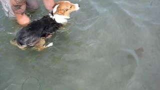Corgi Swimming At The Beach