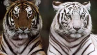 Tigers, tigers & more tigers