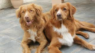 Nova Scotia Duck Tolling Retriever  medium size dog breed
