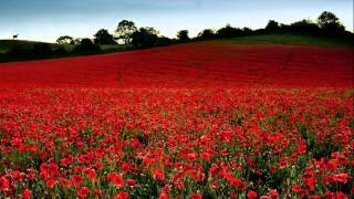 Michael Curran - Field of poppies