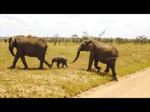 Cute Baby Elephant doesn't want to cross the road