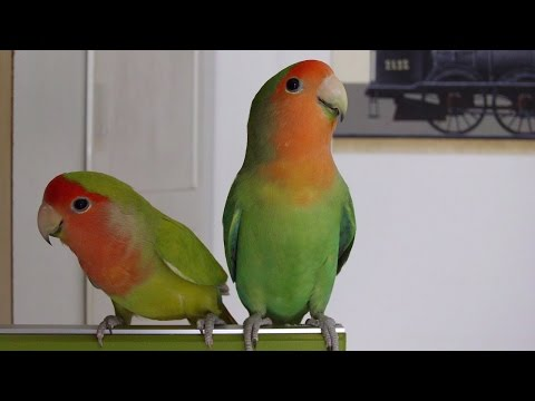 How to differentiate male from female lovebirds