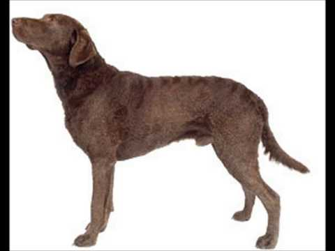 Chesepeake Bay Retriever ~ Puppies For Sale, By Pets4You.com
