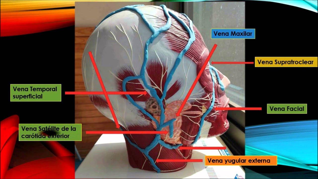 Sistema Arterial, drenaje venoso y linfatico de Cabeza y cuello ...