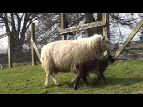 Ewe gotta be kidding: birth of the geep