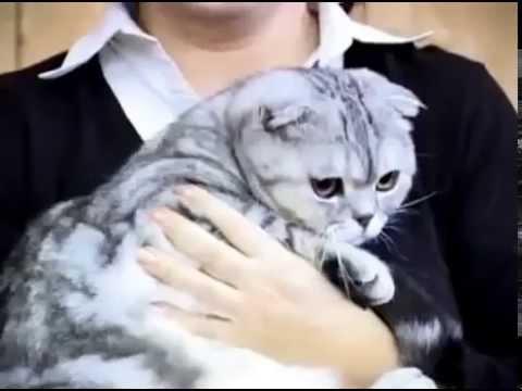 Шотландская вислоухая кошка или Скоттиш фолд - Все о Породе