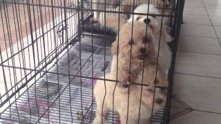 Poodle Mix Puppy For Sale - 2 Months, Mix Poddle From Sand..