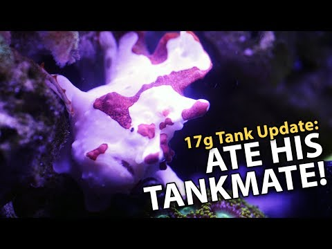 Frogfish ATE His Tankmate!! (17g - 7/9/2017)