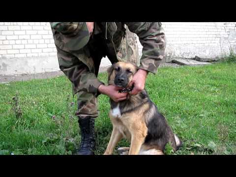 Как сделать строгий ошейник для собаки своими руками