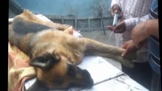 видео Усыпить собаку