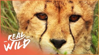 Animal Kingdom - Cheetahs & Leopards [Documentary Series] | Real Wild