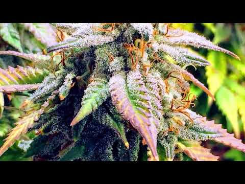 COB LED RDWC Medical Cannabis Grow: HARVEST VIDEO!!! – S1 E10