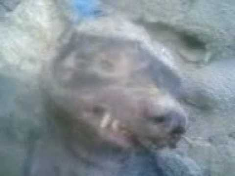 حيوان غريب تم قتله في لودر محافظة أبين Youtube