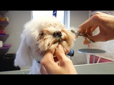 PetGroooming - Puppy Maltese Head Grooming
