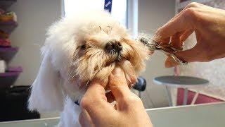 PetGroooming  Puppy Maltese Head Grooming