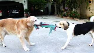 Golden Retriever & Beagles Tug Of War