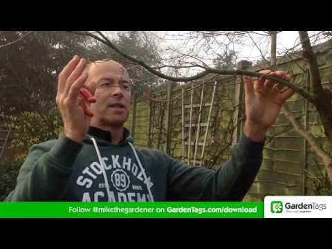 How To Prune Acer Trees