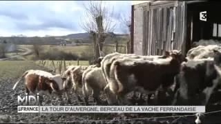 ANIMAUX : La Tour d'Auvergne, berceau de la vache Ferrandaise