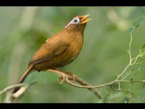 suara burung hwamei betina memanggil hwamei jantan