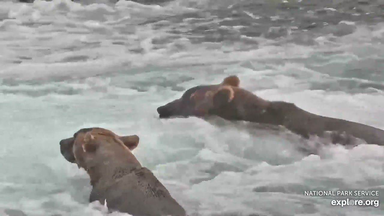 Live Bear Broadcast Booth! - MIKE FITZ/Lian Law go Play by Play at Brooks Falls! July 30th, 2021