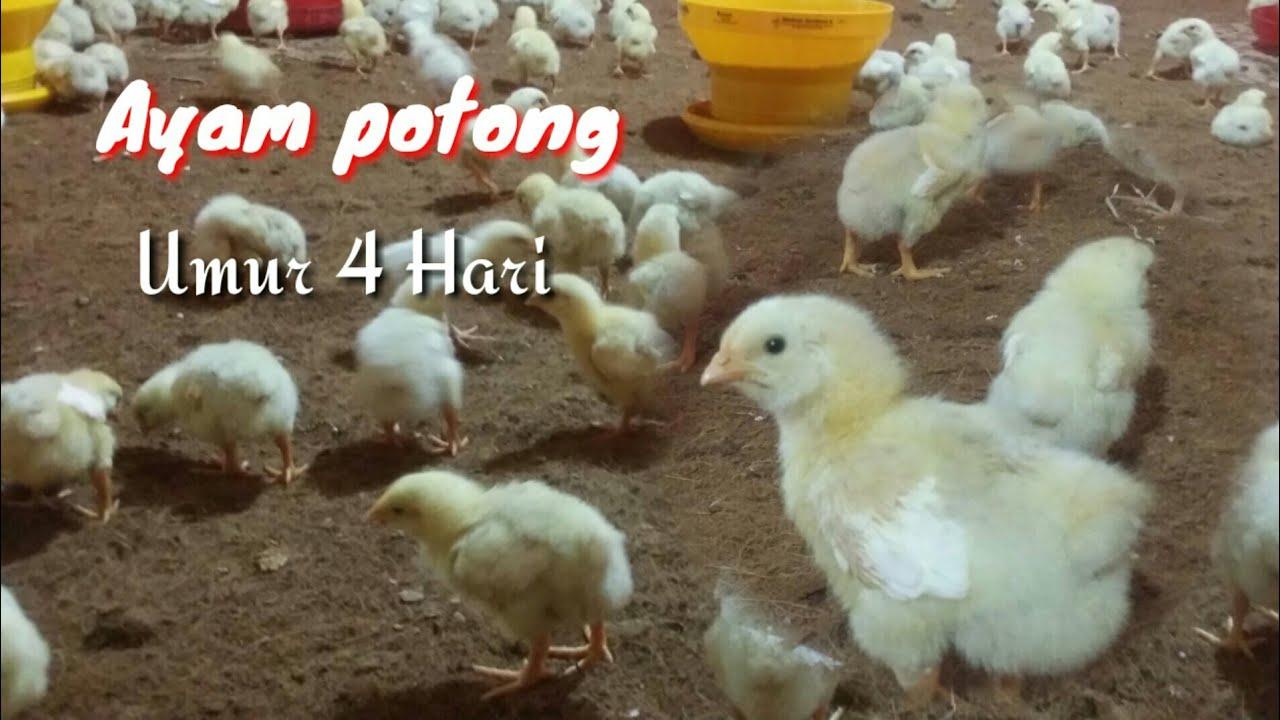 Download Review Ayam Potong Umur 4 HARI