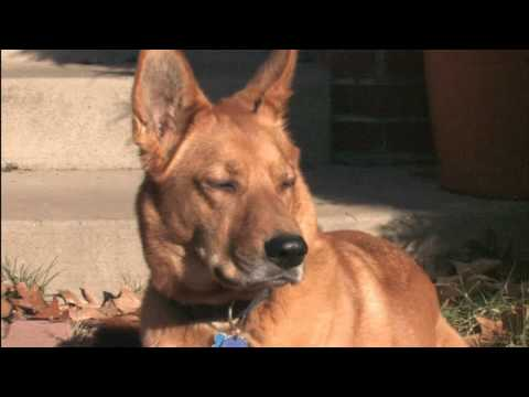 German Shepherd/Chow Chow filmed in High Definition