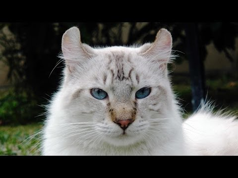 One of a kind White - Exotic Cat - He is RARE! WOLF